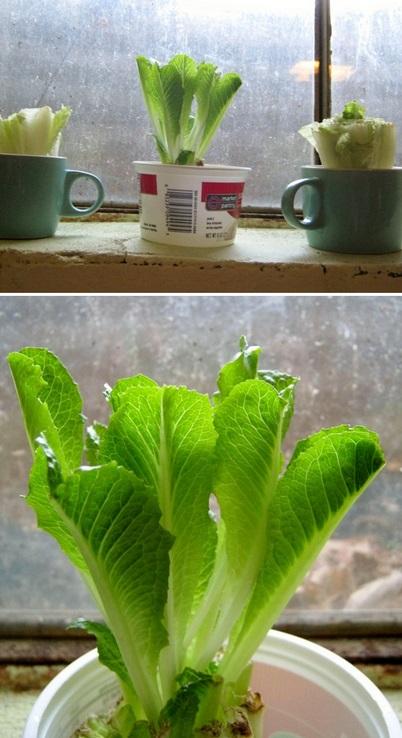 the backyard garden how to grow lettuce. Black Bedroom Furniture Sets. Home Design Ideas