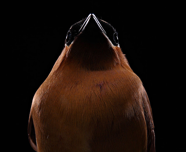 aves, supervivientes, Bob Croslin, fotografia, Grounded, Winged, Survivors, Florida, Gulf Coast, Cedar Wax Wing, Suncoast Seabird Sanctuary