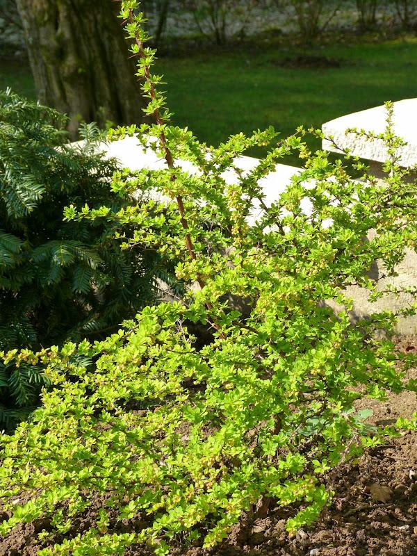 Les pins noirs hydrangea verlee h aspera kawakami - Deplacer un rosier ...
