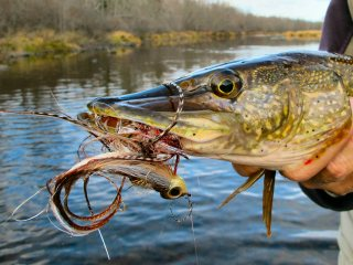 Northern Pike Fishing on Fly Fishing Fo Northern Pike Blog Oct 20 2012 2 Jpg