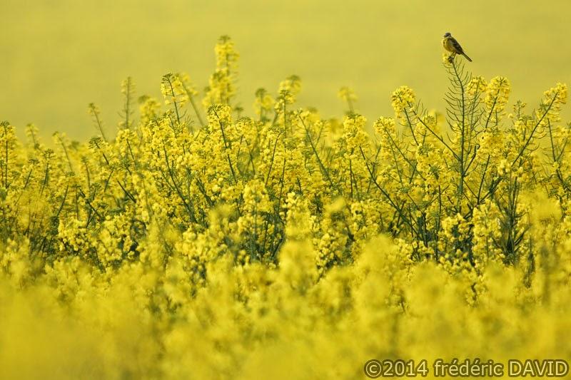 animaux oiseau bergeronnette printanière champ colza campagne printemps Seine-et-Marne