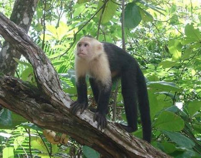 White Faced Capuchin Facts White Faced Capuchin Facts