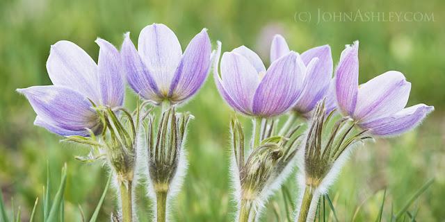 """Pasqueflower """"Anemone patens"""" (c) JohnAshley"""