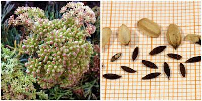 semi di finocchio marino