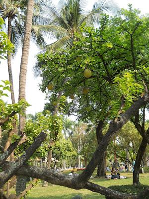 памело на дереве