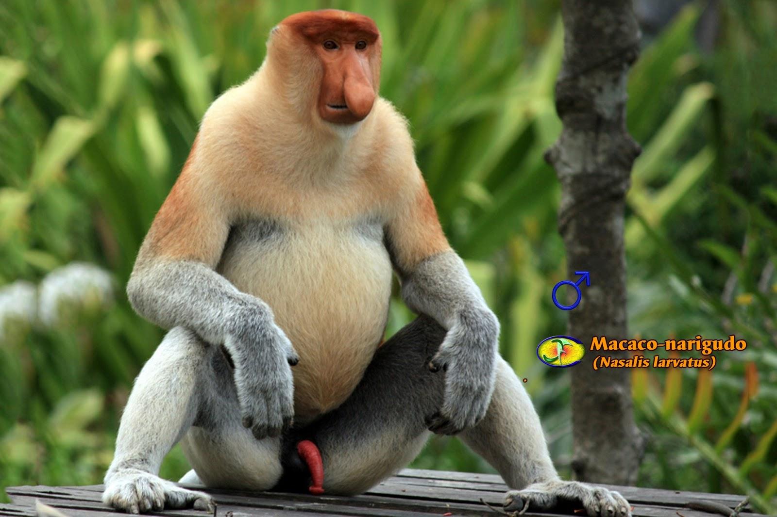 Preferência Zoologia: Macaco-narigudo (Nasalis larvatus) AN04