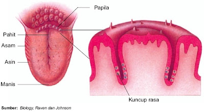 Letak papila di lidah dan bagian-bagian lidah