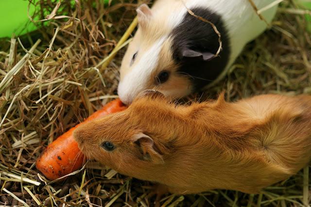 Морские свинки едят морковь.