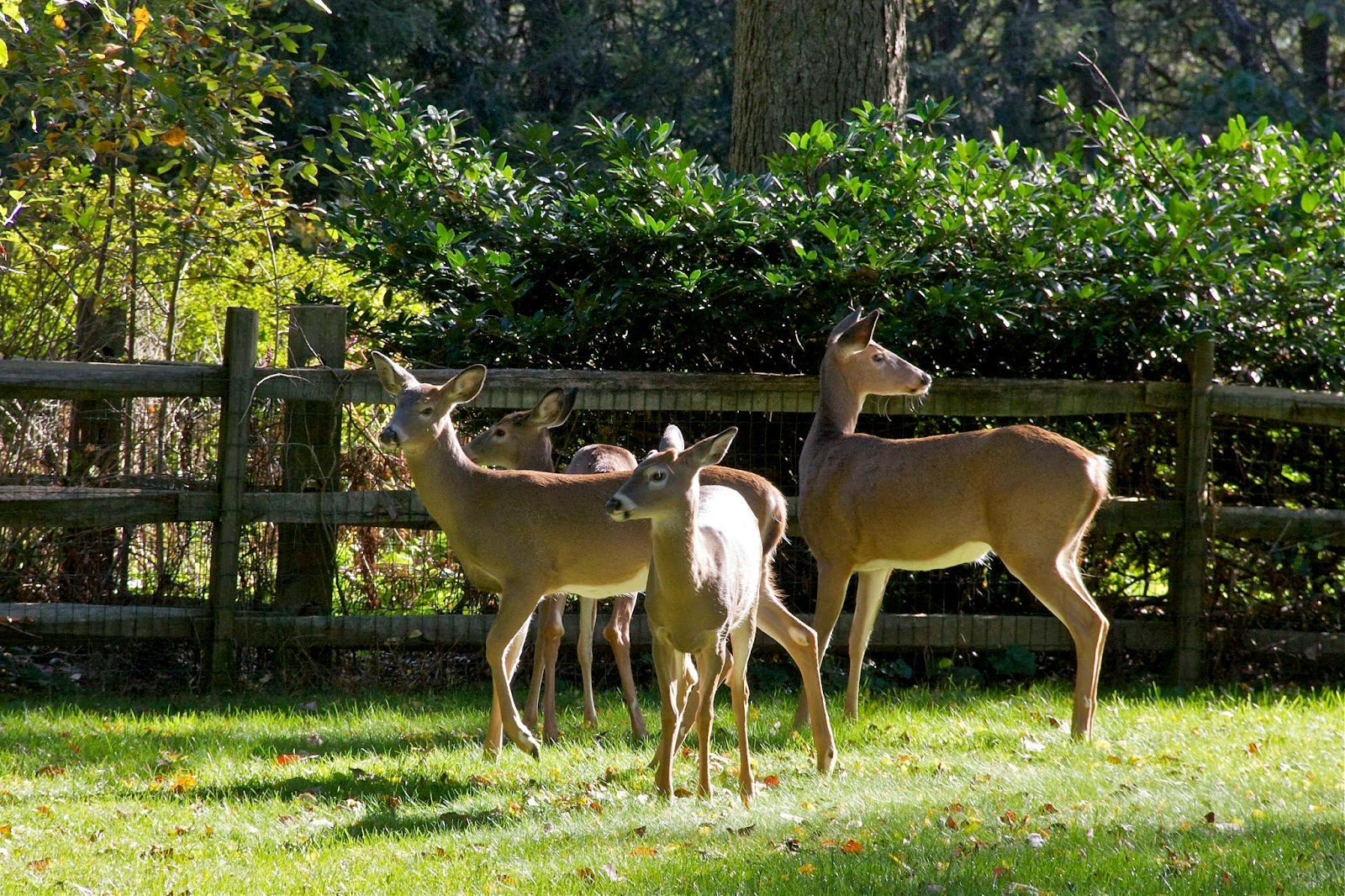 four deer suburban yard