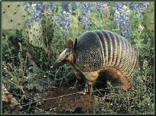 Armadillo Wallpaper