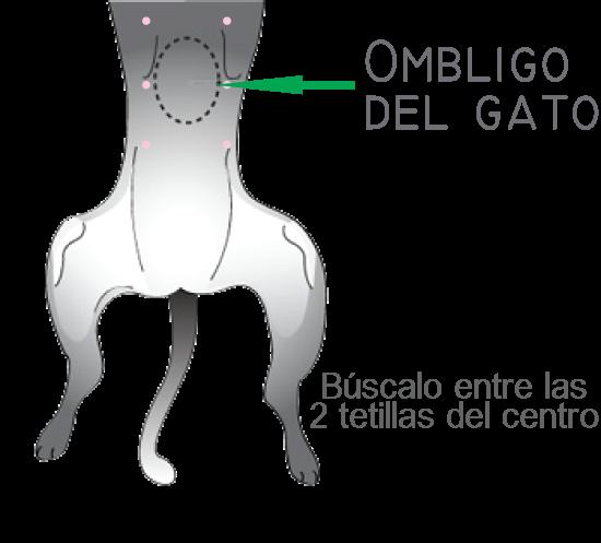 ombligo-gato