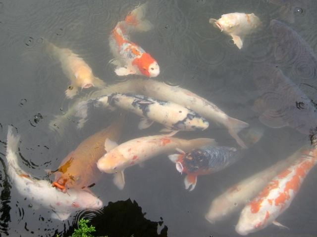 Unbelievable facts unbelievable pictures unbelievable for Rare koi fish