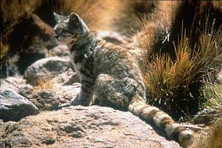 7 Jenis Kucing Paling Langka