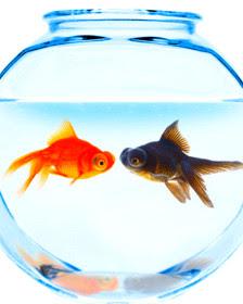Anima blog los peces m s agresivos en espacios peque os for Peces de pecera