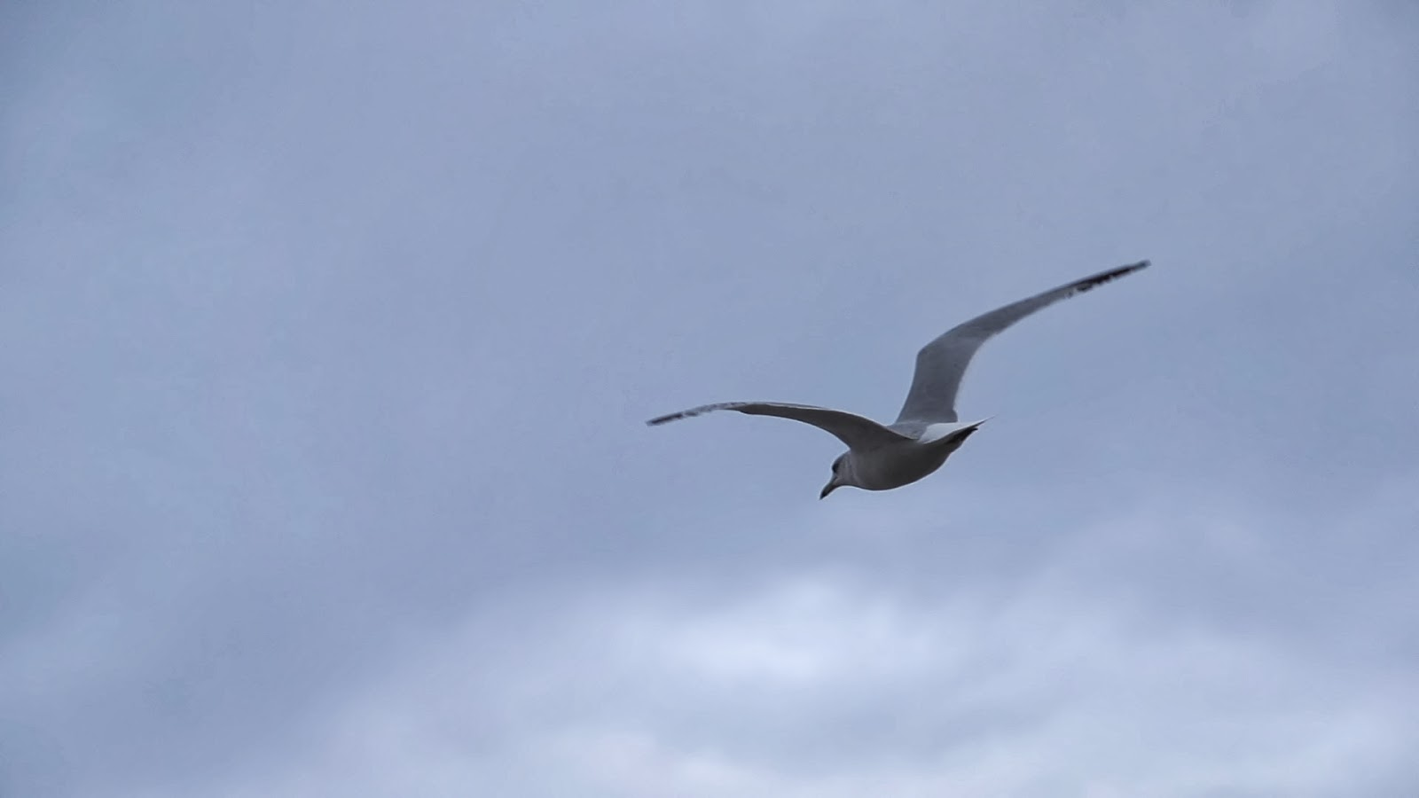Seagull Flying Alt Medium