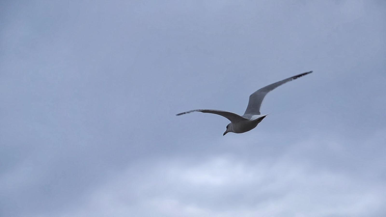 Seagull Flying Alt Medium