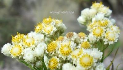 bunga edelweis abadi di gunung semeru