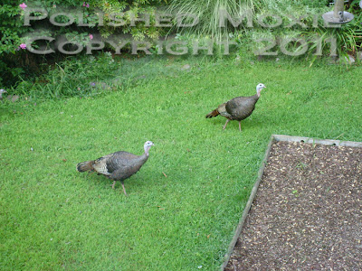 Picture of two wild turkeys