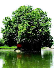 chinar shade