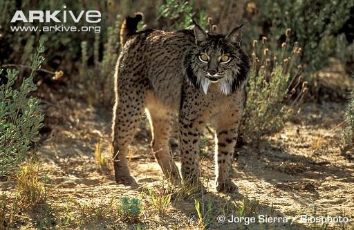 The Wild Cat Club Iberian Lynx Plant A Cork Tree