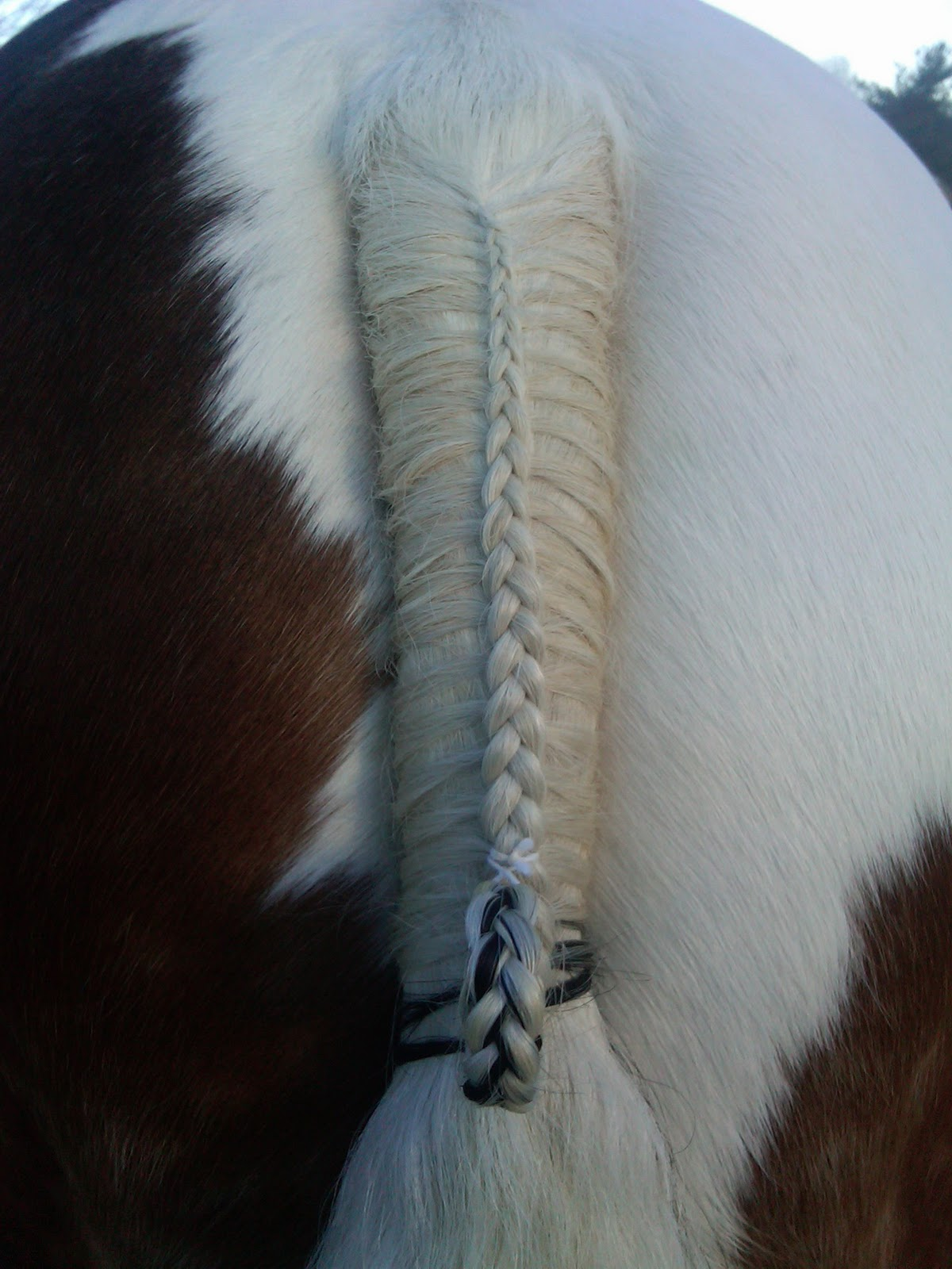 Longest horse tail in the world