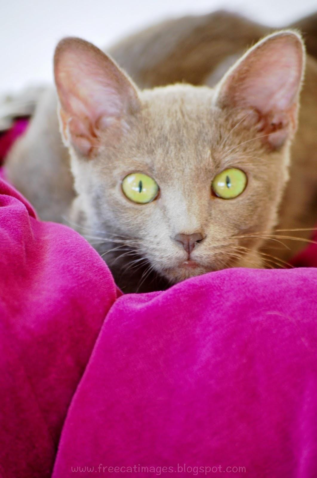 lavender cat - photo #31