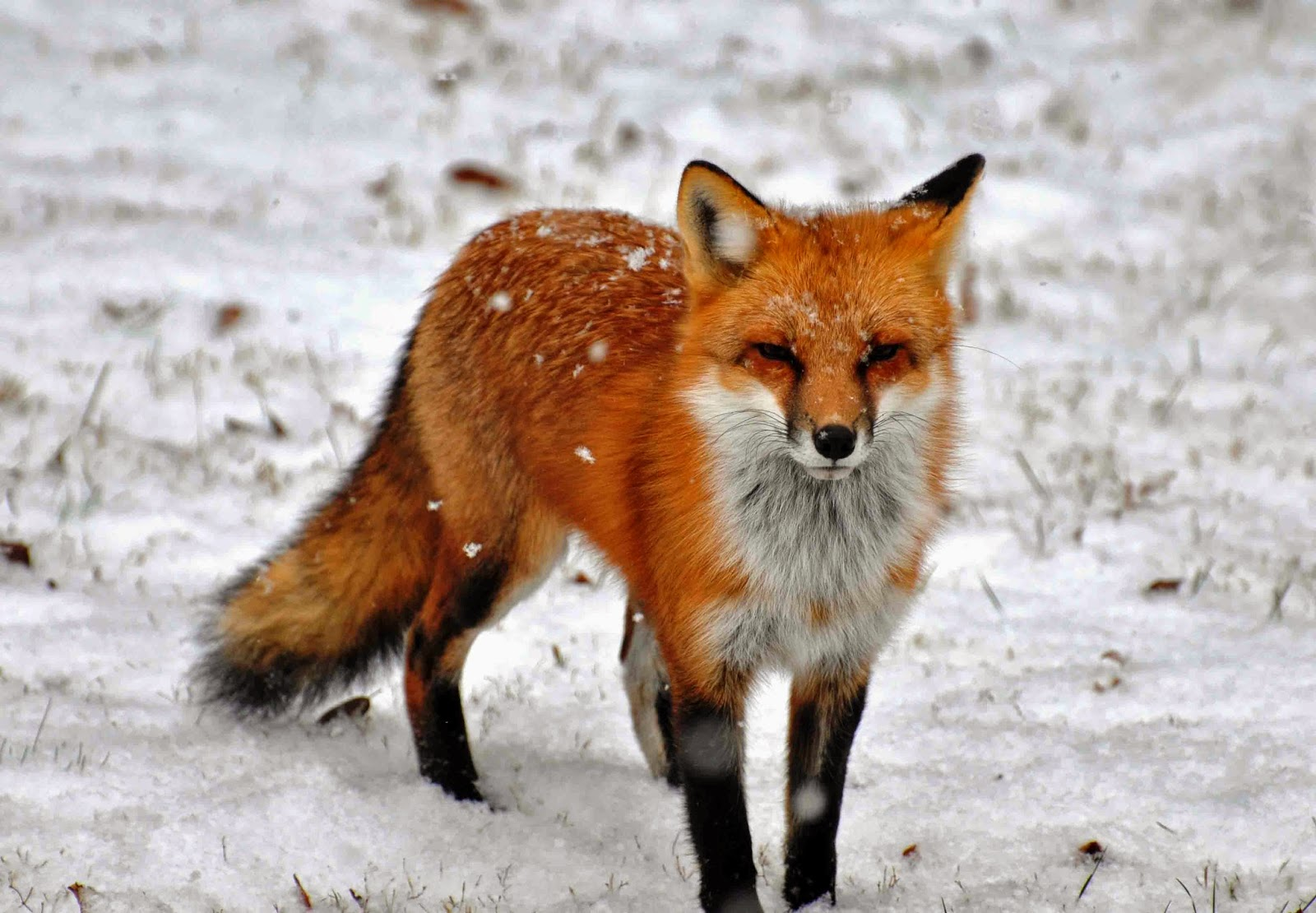 the red fox Red fox, (vulpes vulpes), also called common fox, species of fox (family canidae)  found throughout europe, temperate asia, northern africa, and north america.