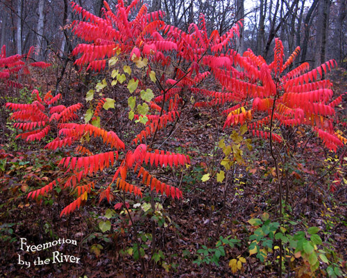 Sumac in the woods