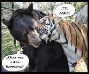 Tigre borracho acariciando a un oso.