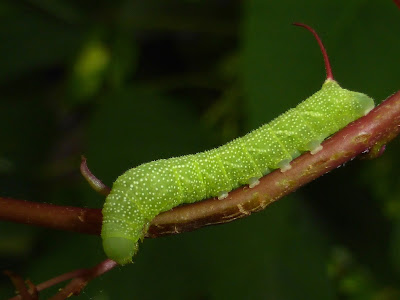 Eumorpha achemon caterpillar