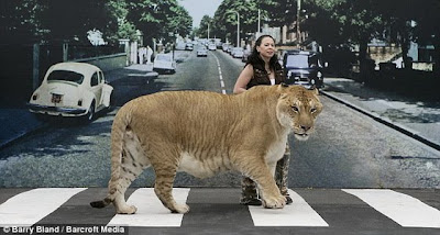 biggest house cat in the world 2013 - Biggest House Cat In The World 2013