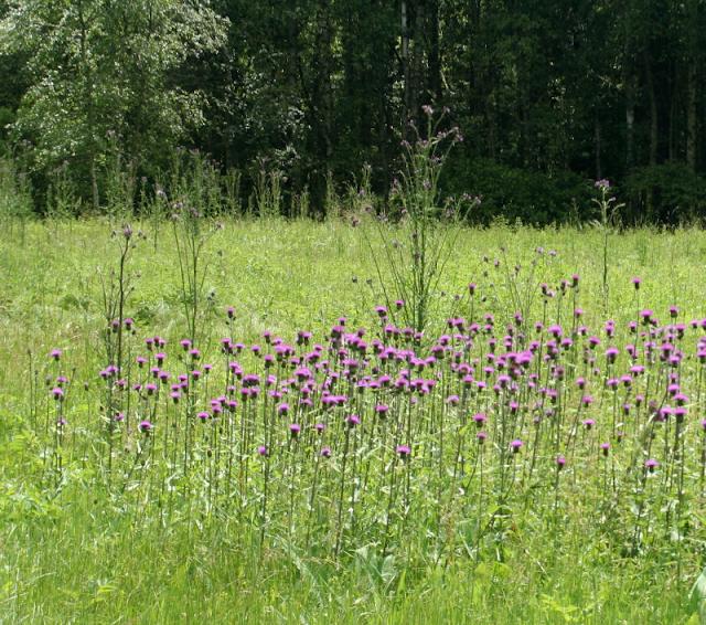 Verschiedenblättrige Kratzdistel, Alant-Distel Lichtenberger Teich (Svetlik)