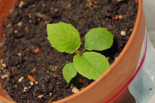 Goldkiwi - vom Kern zur Pflanze