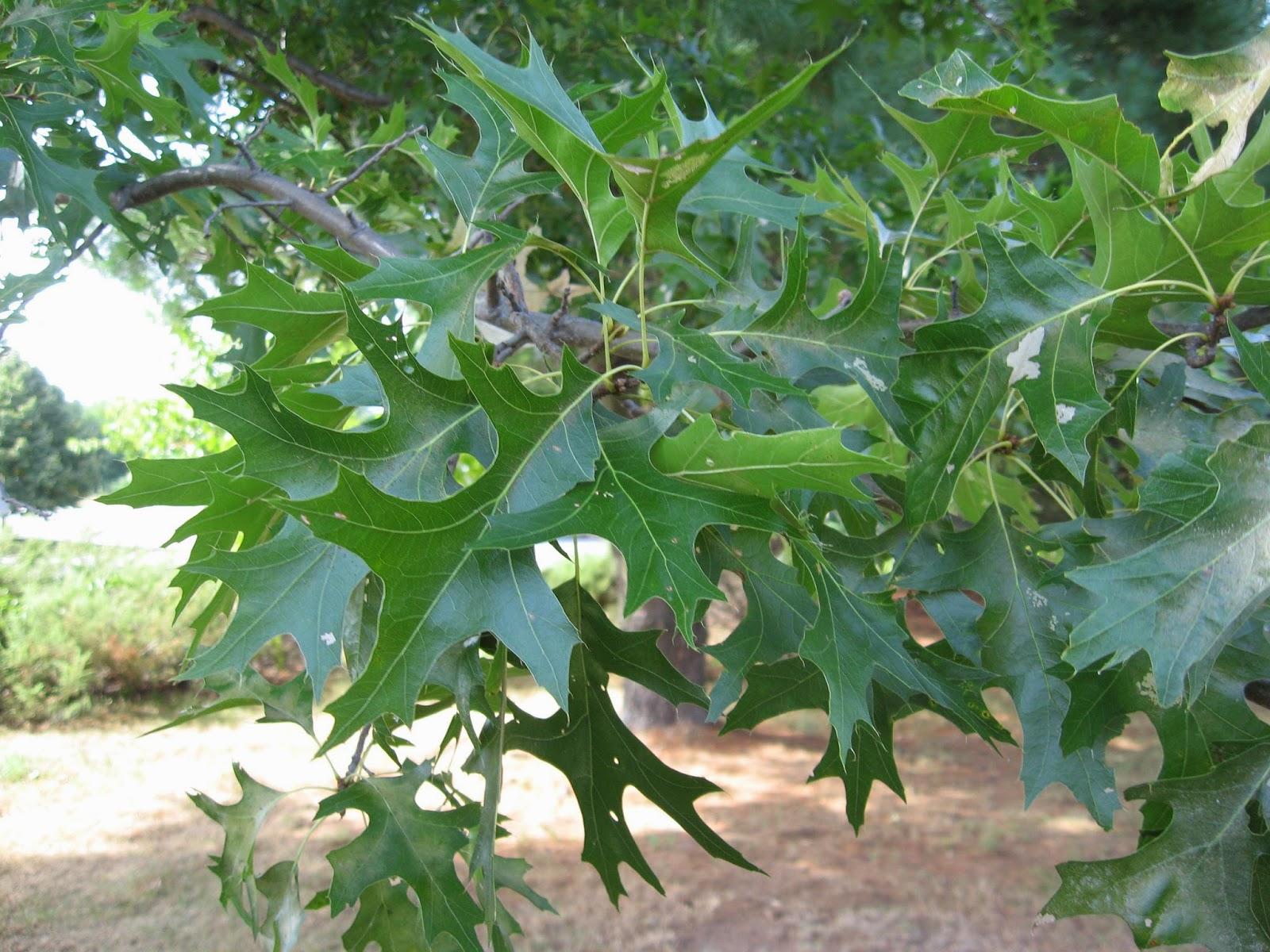 Trees planet: quercus palustris pin oak