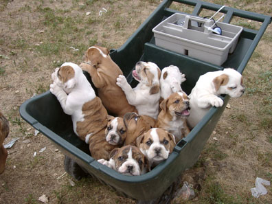 Bull  Puppies on Bulldog Puppies Bulldog Puppy English Bulldog Pup More Information On