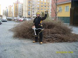 Pensasaidan leikkaus, pensasaitojen leikkaukset ymv pihatyöt käteisellä tottakai Tampere Pirkanmaa