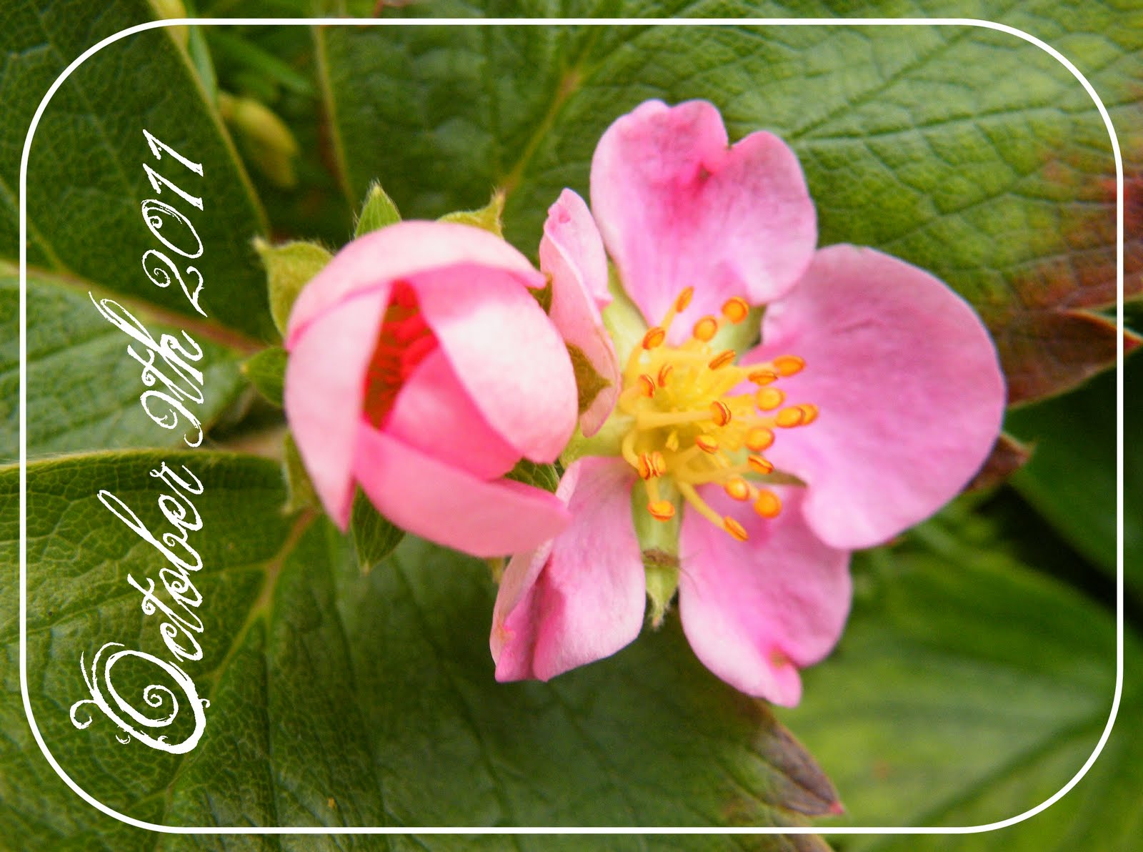 Marys musings natures calendar strawberry plant with pink flower natures calendar strawberry plant with pink flower mightylinksfo