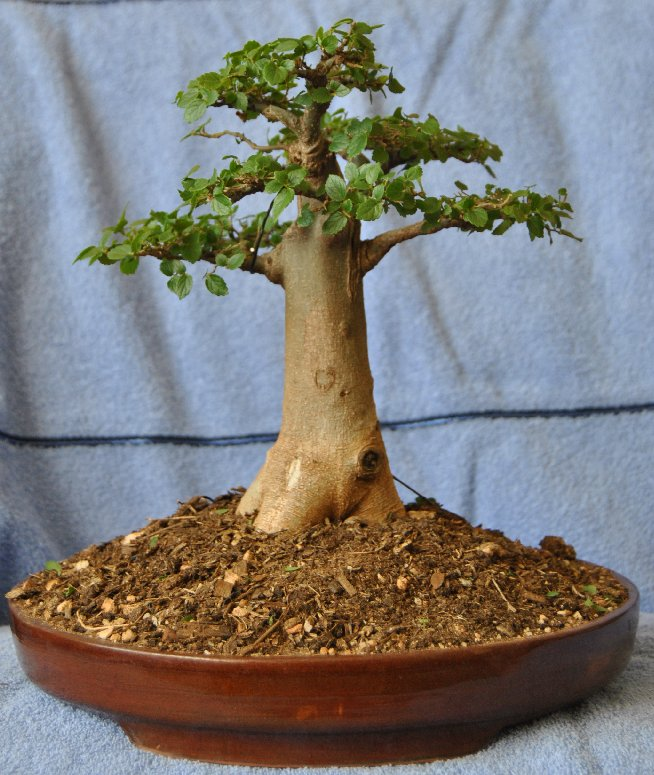 lennard 39 s bonsai beginnings celtis in a baobab style. Black Bedroom Furniture Sets. Home Design Ideas