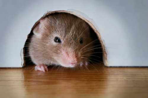 Tanda rumah didatangi tikus clurut, Tanda ada Tikus dirumah