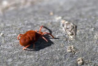 Para ampliar Trombidiidae (Ácaro de terciopelo) hacer clic