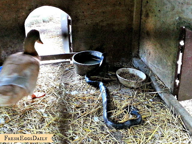 Snake In The Duck House 9 Tips To Help Repel Snakes Fresh Eggs Daily 174