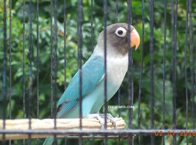 Mengetahui Ciri Jantan Dan Betina Burung Love Bird