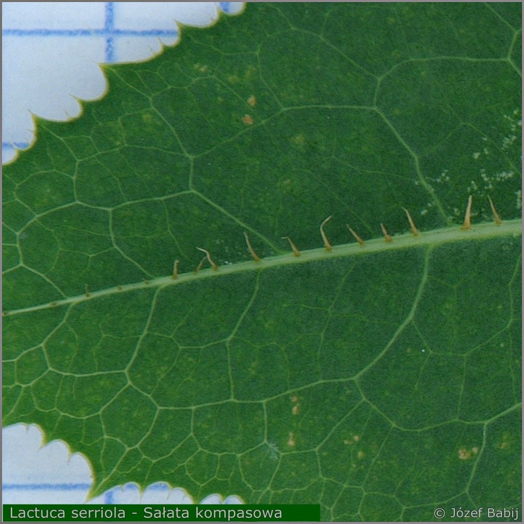 Lactuca serriola leaf from the bottom  - Sałata kompasowa liść od spodu