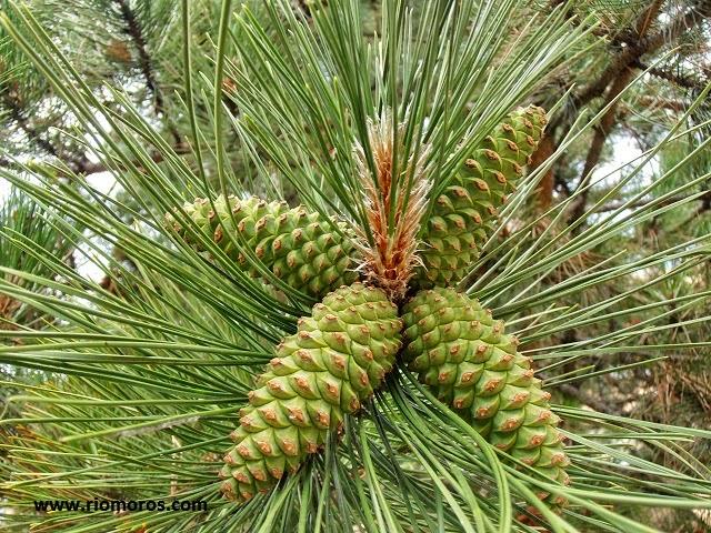 PINO LARICIO: Pinus nigra