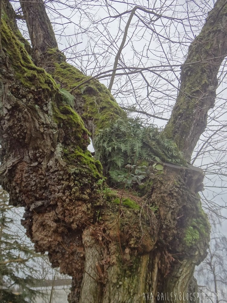 A fern growing in the nook of a mossy tree in Vancouver