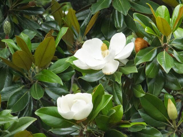 直径15~25cmの芳香のある花を咲かせていた。
