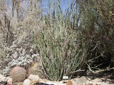 Candelaria,Euphorbia antisyphillitica