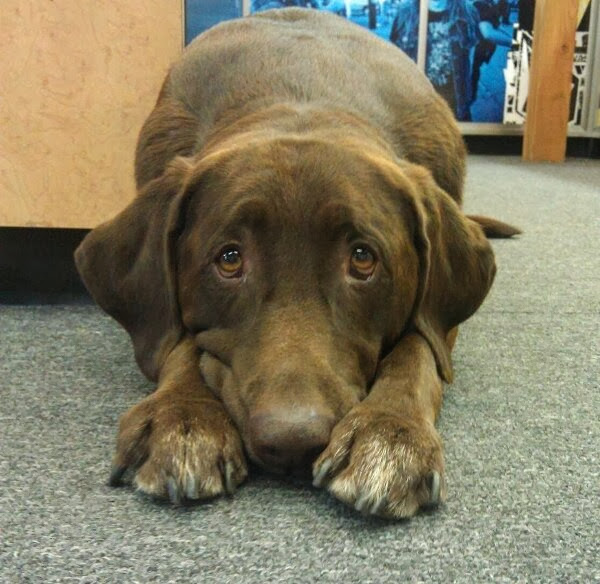 adorable dog pictures, lab dog shows his sad face