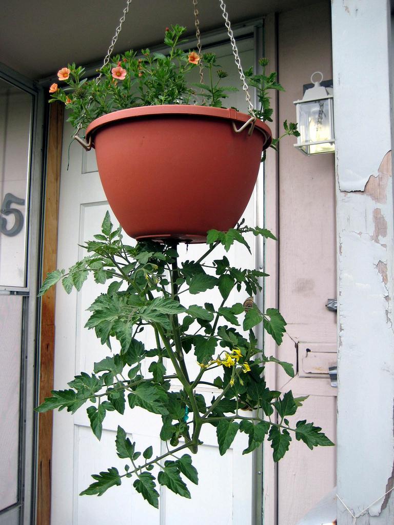 Ответы@mail.ru: как вырастить помидоры на балконе,какой лучш.