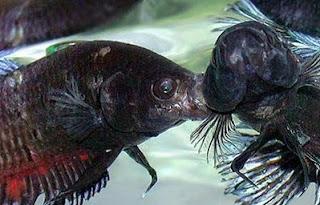 Gambar ikan Cupang petarung